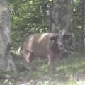 Cochon corse au col de Verde (1289 m)