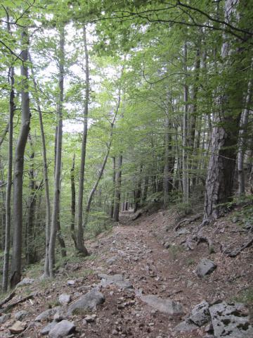 Hêtraie - forêt domaniale de Vizzavona