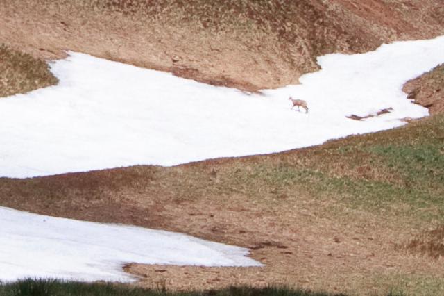 Gros plan sur le névé précédent, un chamois prenais le frais allongé sur le névé.
