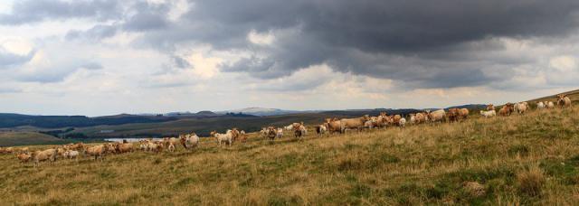 Vaches d'Aubrac : curieuses mais assez craintives